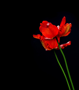 Picture no: 10434921 rote Tulpen #2 Created by: danielschoenen