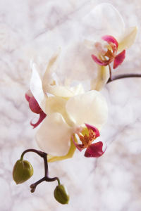 Picture no: 10437325 Phalaenopsis Textur Created by: Steffen Gierok