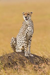 Picture no: 10444696 Gepard Created by: Safarifotografie