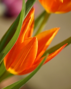 Picture no: 10463606 Feurige Tulpen Created by: youhaveadream