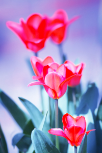Picture no: 10466772 Tulips Created by: FotoDeHRO