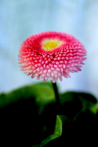Picture no: 10468350 Bellis Created by: Heike Hultsch