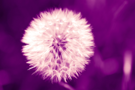 Picture no: 10469516 Pusteblume violett Created by: dresdner