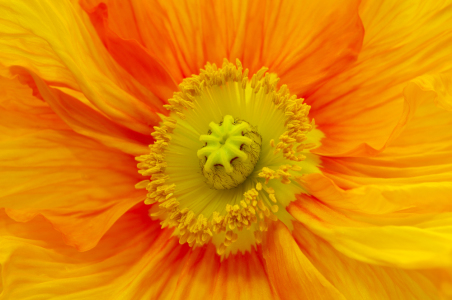 Picture no: 10475104 Orange Poppy  Created by: Angela  Dölling