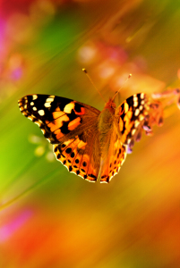 Picture no: 10476358 Schmetterling Created by: Atteloi