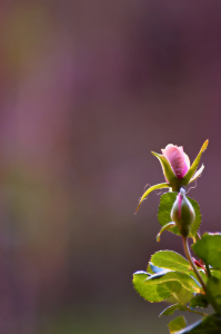 Picture no: 10482812 Little Rose Created by: Uwe Minuth