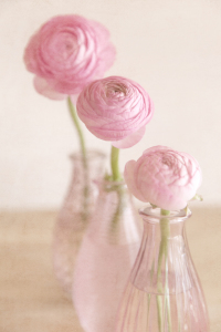 Picture no: 10483612 Three Ranunculus Created by: mexi-photos