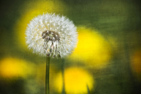 Picture no: 10509931 Pusteblume Created by: Timo Geble