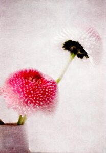 Picture no: 10516517 Bellis Created by: Heike Hultsch