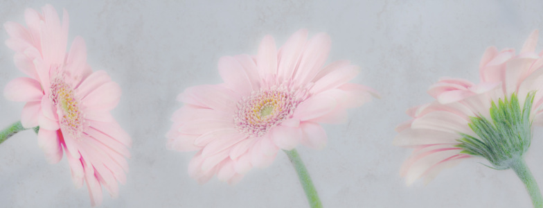 Picture no: 10524425 Collage Gerbera Created by: OmSchi