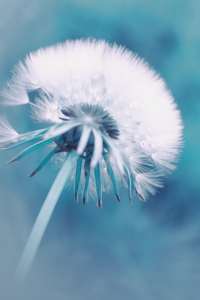 Picture no: 10529519 Pusteblume blau Created by: Christine Bässler