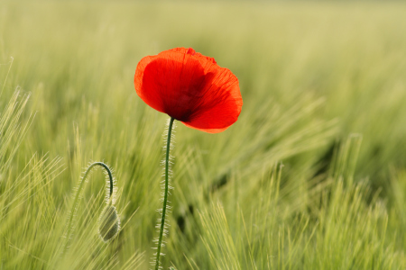 Picture no: 10545433 Mohn Created by: Jana Behr