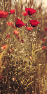Picture no: 10548791 Mohn Created by: mexi-photos
