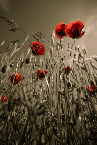 Picture no: 10548795 Mohn Created by: mexi-photos