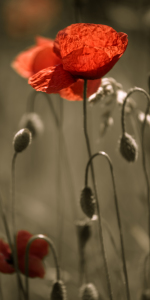 Picture no: 10549715 roter Mohn Created by: mexi-photos