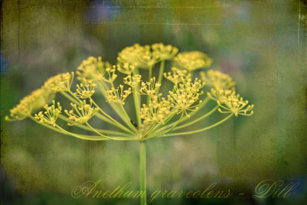 Picture no: 10550547 Dill Variation Created by: FrauDoktor
