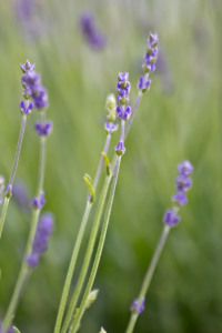 Picture no: 10554861 Lavendel Created by: Stephanie Stephanie Dannecker