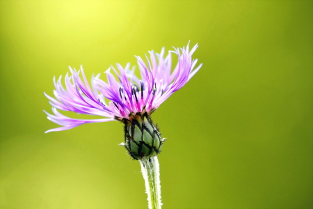 Picture no: 10562051 Centaurea montana Created by: fotoping