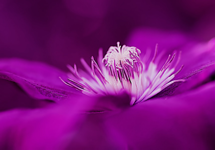 Picture no: 10565908 Clematis Created by: youhaveadream
