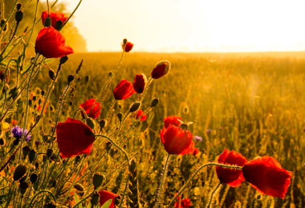 Picture no: 10565970 Mohn am Morgen Created by: Kibo
