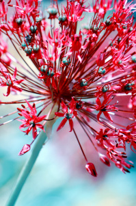 Picture no: 10568352 Allium Created by: Atteloi