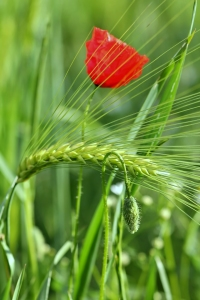 Picture no: 10583069 Mohn im Gerstenfeld Created by: falconer59