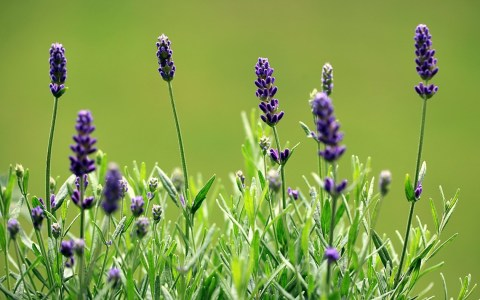 Picture no: 10596385 Lavendel Created by: Renate Knapp