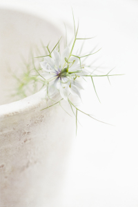 Picture no: 10599714 white nigella Created by: mexi-photos