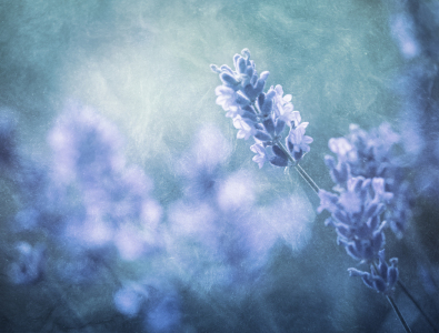 Picture no: 10605598 Lavendel im Licht Created by: Daniela Beyer