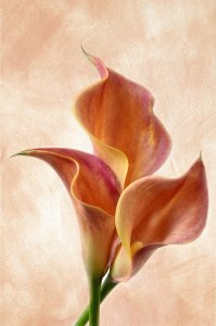 Picture no: 10624102 Callas Created by: Rolf Eschbach