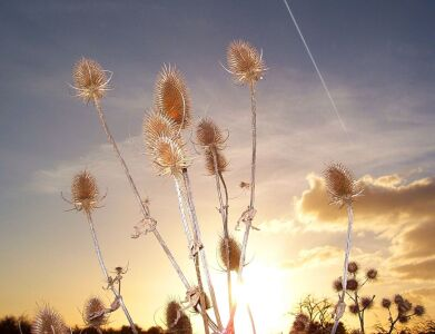 Picture no: 10639754 Sunset-Distel Created by: Marion227