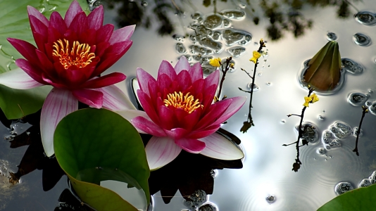 Picture no: 10642154 Water Lilies Created by: youhaveadream