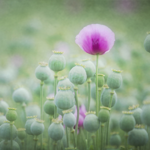 Picture no: 10651514 poppy seed Created by: Daniela Beyer