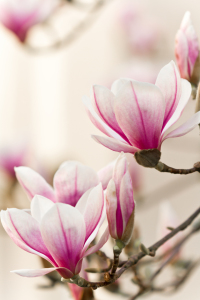 Picture no: 10656342 Magnolie Created by: janschuler
