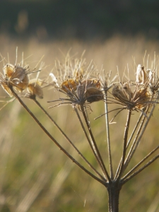 Picture no: 10663628 HOGWEED Created by: PaulaPanther