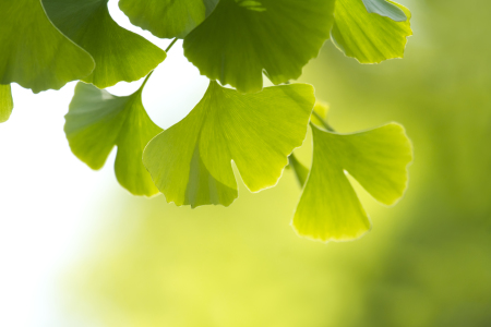 Picture no: 10673848 Ginkgo Created by: FranziskaKrause
