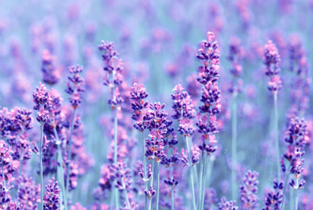 Picture no: 10674888 Lavendel Created by: Atteloi