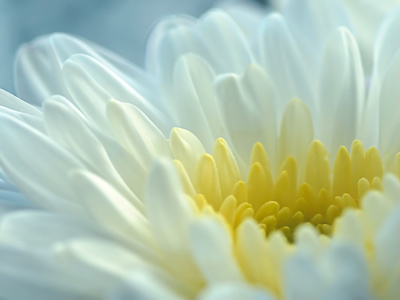 Picture no: 10683120 Chrysantheme Created by: youhaveadream