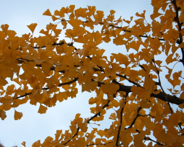 Picture no: 10700077 Ginkgobaum Goldherbst Created by: Knibbli