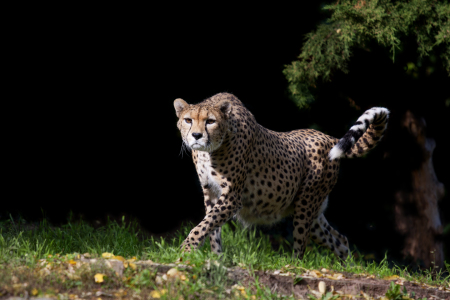 Picture no: 10705325 Gepard Created by: Thomas Herzog