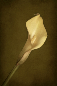 Picture no: 10716793 Calla Created by: Gerhard Albicker