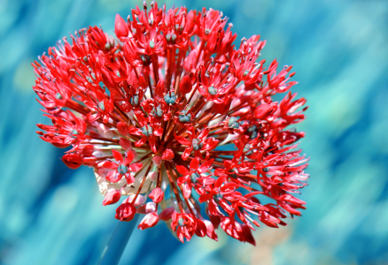 Picture no: 10717335 Allium Created by: Atteloi