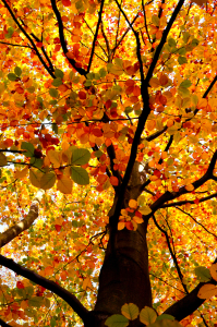 Picture no: 10727171 herbstbaum Created by: Atteloi