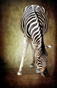 Picture no: 10732491 Zebra - Version zwei -  Created by: Heike Hultsch