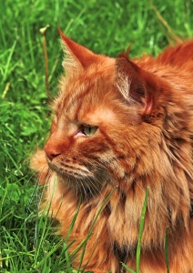 Picture no: 10743667 Kater im Gras Created by: falconer59