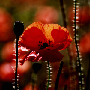 Picture no: 10761073 Mohn Created by: Falko Follert