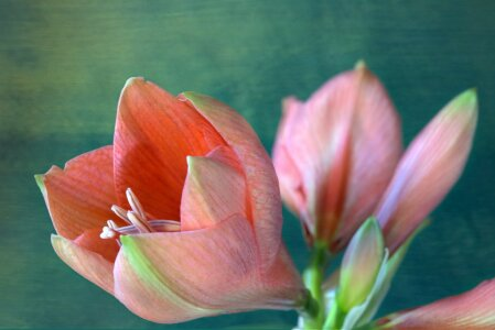 Picture no: 10761309 Amaryllis Created by: Rolf Eschbach