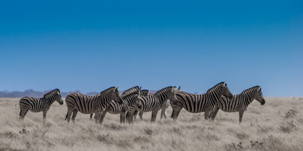 Picture no: 10767643 Neun Zebras Created by: Frank Walter