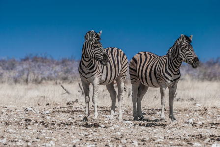 Picture no: 10767645 Zwei Zebras Created by: Frank Walter