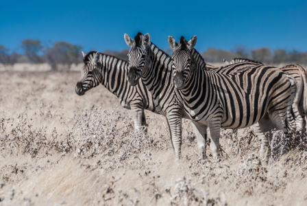 Picture no: 10767653 Drei Zebras Created by: Frank Walter